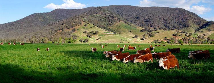 Cows in green field - nullamunjie olive grove03.jpg