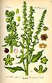 Illustration Beta vulgaris var. rapacea0.jpg