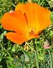 California Poppy closeup.jpg