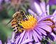 Albină europeană