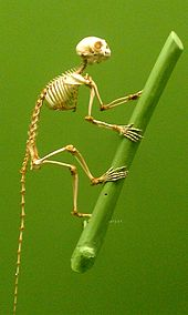 A photograph of a primate skeleton.