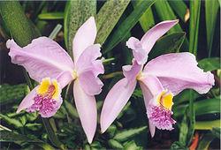 Cattleya lueddemanniana