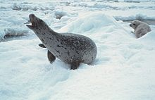 Photo of white-coated, black-spotted seal with extended neck and open mouth lying on snow