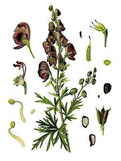 Aconitum napellus subsp. napellus