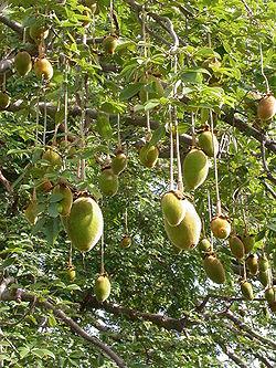Adansonia digitata, le baobab africain