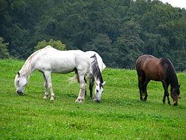 Drie gedomesticeerde paarden