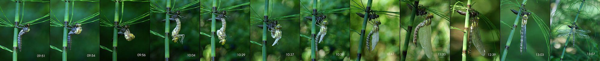 كما جميع أنواع الحشرات التي تمر بالتطور الكامل، يقوم هذا السرمان الأزرق بطرح هيكله الخارجي عدّة مرات طيلة الفترة السابقة على بلوغه.
