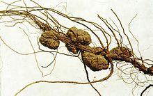 Galle provoquée par A. tumefaciens sur une racine de pacanier.