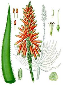Aloe succotrina - Khlers Medizinal-Pflanzen-007.jpg