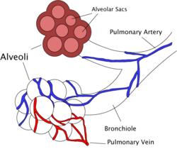 Alveoli diagram.png