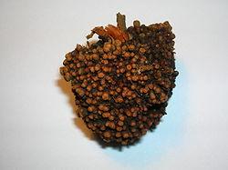 An alder root nodule