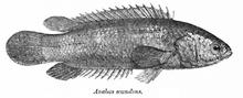 Anabas testudineus