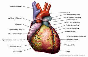 Anatomy Heart English Tiesworks.jpg