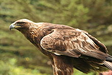 Aquila chrysaetos Flickr.jpg