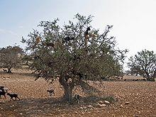 Bosque seco mediterráneoy matorral suculento de acacias y erguenes