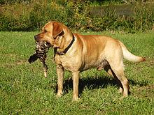 Fox Red Labrador retriever with duck