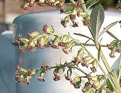 Artemisia princeps1.jpg