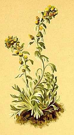 Ici l'espèce Artemisia genipi