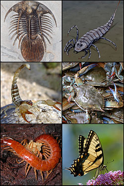 Exemples d'arthropodes:Trilobite, Stylonurus, scorpion, crabe, chilopode et papillon.