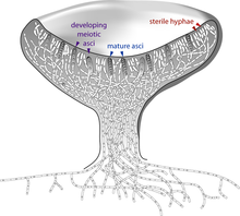Cross-section of a cup-shaped structure showing locations of developing meiotic asci (upper edge of cup, left side, arrows pointing to two gray-colored cells containing four and two small circles), sterile hyphae (upper edge of cup, right side, arrows pointing to white-colored cells with a single small circle in them), and mature asci (upper edge of cup, pointing to two gray-colored cells with eight small circles in them)