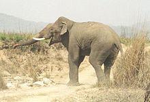 Asian Elephant in Corbett National Park.jpg