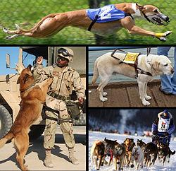 Aperçu d'utilisations du chien  En haut: un chien de course À gauche: un chien militaire À droite en haut: un chien d'assistance À droite en bas: des chiens de traineau