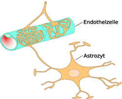 Astrocyte.