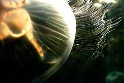 Aureliaauritakils1.jpg