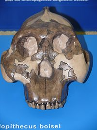 Skull of Paranthropus boisei