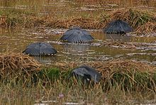 Four Black Herons standing in low water with vegetation holding their wings over their bodies forming what looks like umbrellas
