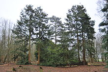 A view of the Fallen Sequoia which is like a giant Bonsai tree, by the pond at Bank Hall