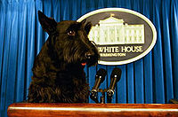 """""""A black Scottish Terrier on the presentational podium with the blue curtain behind it."""""""