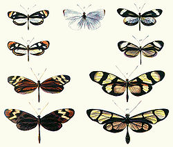 Batesian mimicry in butterflies