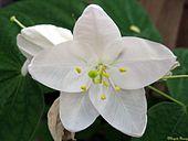 Bauhinia Acuminata.jpg