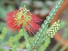 Flores de Beaufortia orbifolia, una rosídea de la familia mirtácea.