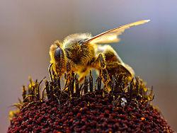 Abeille en train de collecter du pollen.