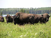Bison herd - Lake Audy - Riding Mountain National Park.JPG