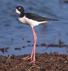 Black-necked Stilt.jpg