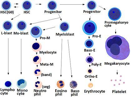 Blood cells differentiation chart.jpg