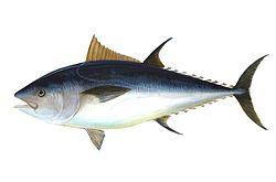 Bluefin-big.jpg