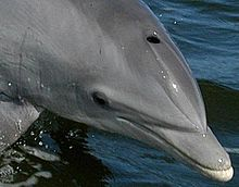 Photo of dolphin above surface