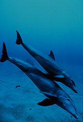 Photo of juvenile diving just above its mother's dorsal fin.