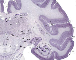 Brainmaps-macaque-hippocampus.jpg