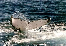 Photo showing humpback with only white underside of tail visible