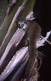 A small squirrel-like lemur, with a long, slender body and a thick tail, looks over its shoulder from a palm tree.