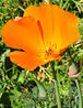 California Poppy closeup.jpg