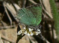 Callophrys sheridanii 15737 (cropped).JPG