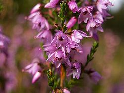 Calluna vulgaris
