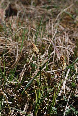 Carex caryophyllea.jpg