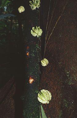 Carpotroche platyptera